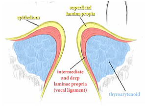 The epithelium is the outermost layer of the vocal folds  It is thin    Lamina Propria Vocal Folds